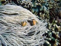 Pagliaccio-pesci Immagine Stock