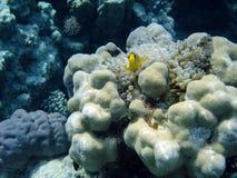 Pagliaccio-pesci Immagini Stock