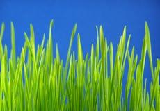 Paglie dell'erba verde Immagine Stock