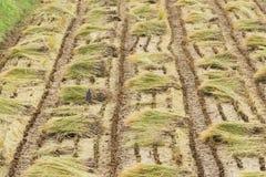 Paglie della pianta di riso in un campo Fotografie Stock Libere da Diritti