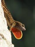 Pagliolaia arancio luminosa del collo della lucertola di Brown Anole visualizzata Immagini Stock