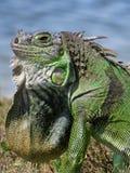 Pagliolaia del collo sull'iguana di verde dell'esposizione dal lago nel profilo Immagine Stock