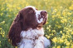 ?pagneul de springer anglais de race de chien dans le domaine de fleurs sauvages d'?t? L'animal familier triste mignon se repose  photos libres de droits
