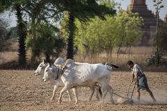 PAGODA AGRACULTURE DEL TEMPIO DELL'ASIA MYANMAR BAGAN Fotografie Stock Libere da Diritti