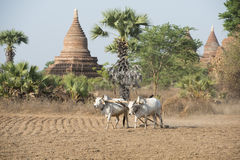 PAGODA AGRACULTURE DEL TEMPIO DELL'ASIA MYANMAR BAGAN Immagine Stock