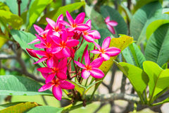 Pagoda flowers, pink color Royalty Free Stock Images