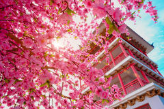Pagoda japan style and Sakura flowers with blue sky background Royalty Free Stock Images