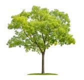 Pagodträd på en vit bakgrund Arkivbild
