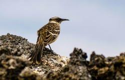 Pagos del ¡de Galà que imitan el pájaro Imagenes de archivo