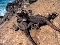 Pagos Marine Iguanas del ¡de Galà Imagenes de archivo