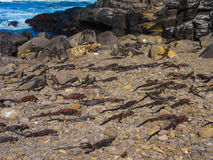 Pagos Marine Iguanas del ¡de Galà Imagen de archivo