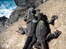 Pagos Marine Iguanas del ¡de Galà Imagen de archivo libre de regalías