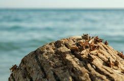 Pague dos locustídeo na costa de mar fotografia de stock
