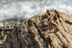 Pague of locusts on the sea coast Stock Image