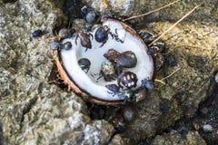 Paguri che mangiano noce di cocco Fotografia Stock