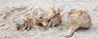 Paguri su una spiaggia fotografia stock