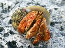 Pagurian. Red and big polynesian hermit crab from Bora Bora Stock Photo
