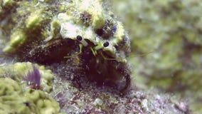 Pagurian in shell underwater on deep sea eats food in ocean of Philippines. stock video footage