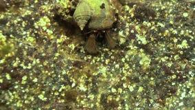 Paguro del Cancro che striscia sul fondale marino roccioso video d archivio