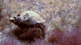 Paguro del Cancro che striscia sul fondale marino roccioso archivi video