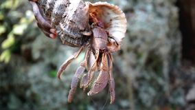 Paguro dell'isola di Chumbe fotografie stock libere da diritti