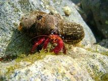 Paguro subacqueo con l'anemone di mare sulle coperture fotografia stock