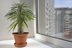Pahipodium room flower in a pot are on the windowsill. Stock Image