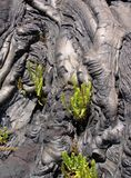 Pahoehoe lava and ferns Royalty Free Stock Image