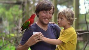 Pai e filho em um parque do pássaro para alimentar um papagaio vermelho que senta-se no ombro do pai dentro com um leite video estoque