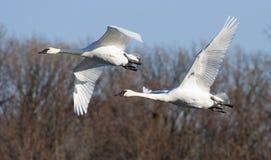 Pai of Swans Stock Photos