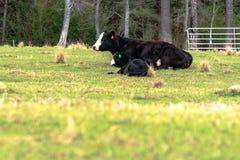 Paia baldy nere del mucca-vitello con priorità alta in bianco Immagini Stock Libere da Diritti