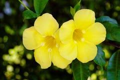 Paia dei fiori del Allamanda della tromba gialla sulla vite Fotografie Stock