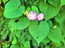 Paia dei fiori di tromba Immagini Stock Libere da Diritti