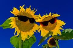 Paia dei girasoli divertenti che indossano gli occhiali da sole Fotografie Stock Libere da Diritti