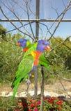 Paia dei lorikeets dell'arcobaleno sul ramo Fotografia Stock