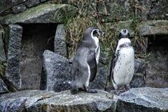 Paia dei pinguins sulla pietra Fotografia Stock Libera da Diritti