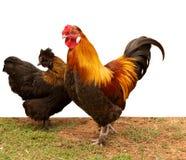 Polli dell'incrocio del bantam del pekin di Silkie Fotografie Stock Libere da Diritti
