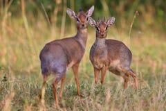 Paia del antilope di Dik-dik nel bello habitat della natura Immagini Stock Libere da Diritti
