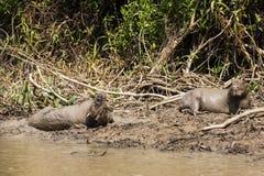 Paia del capybara che prendono il bagno di fango Fotografia Stock