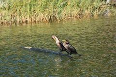 paia del cormorano del Doppio CREST Immagini Stock Libere da Diritti