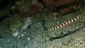 Paia del dactyliophorus di Dunckerocampus del pipefish Banded, femminili con le uova sulla sabbia nello stretto di Lembeh video d archivio