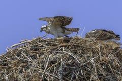 Paia del falco pescatore immagine stock libera da diritti