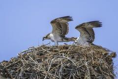 Paia del falco pescatore fotografia stock libera da diritti