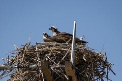Paia del falco pescatore nel loro nido immagini stock