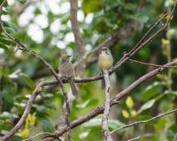 Paia del passero di Zapata Fotografie Stock