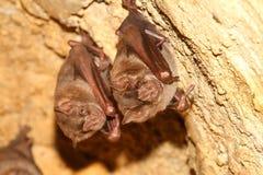 Paia del pipistrello Fotografia Stock Libera da Diritti