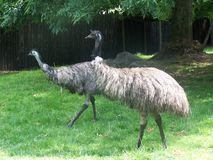 Paia dell'emù Fotografia Stock Libera da Diritti