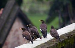 paia dell'uccello di mayna Fotografia Stock