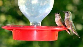 Paia dell'uccello di ronzio appollaiate sull'alimentatore Fotografia Stock Libera da Diritti