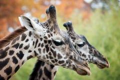 Paia della giraffa Fotografie Stock